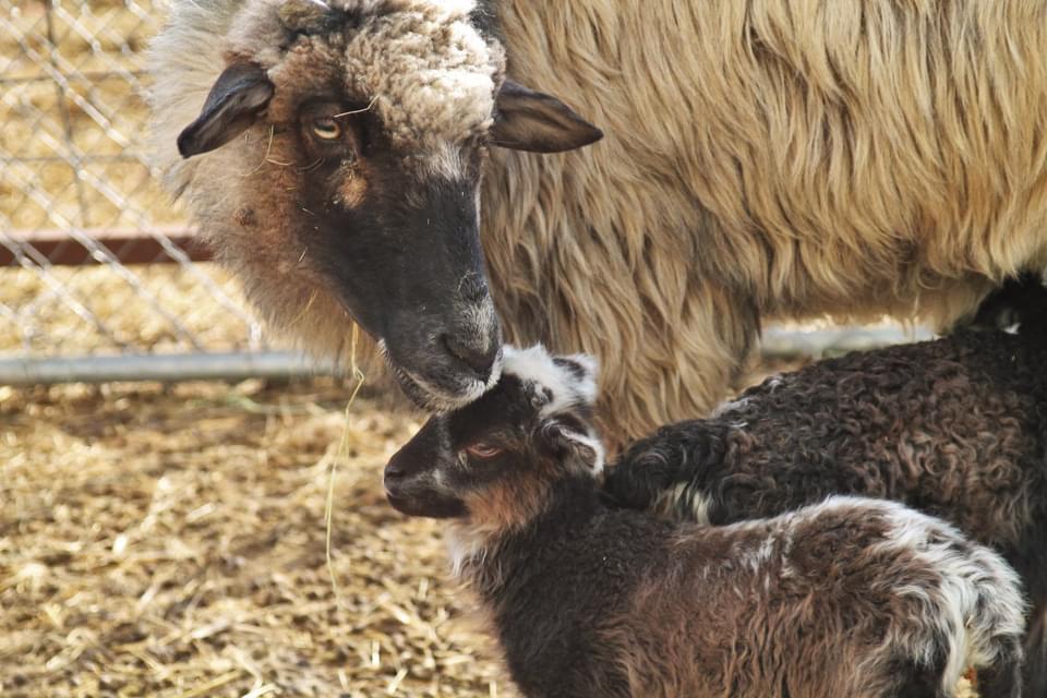 Lambing Again