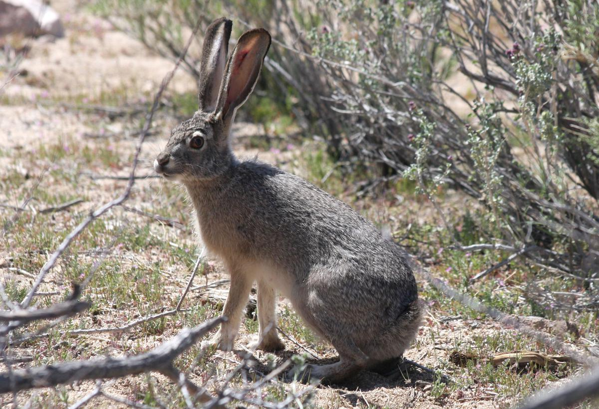 Zion and Bryce Canyon National Park Wildlife: The Black-Tailed Jackrabbit