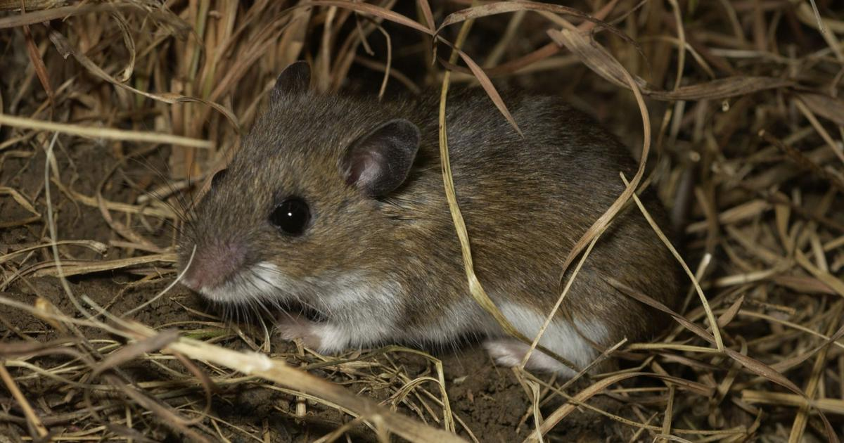 Zion National Park Wildlife: The Deer Mouse