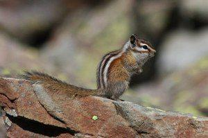 Zion and Bryce Canyon National Park Wildlife: The Least Chipmunk