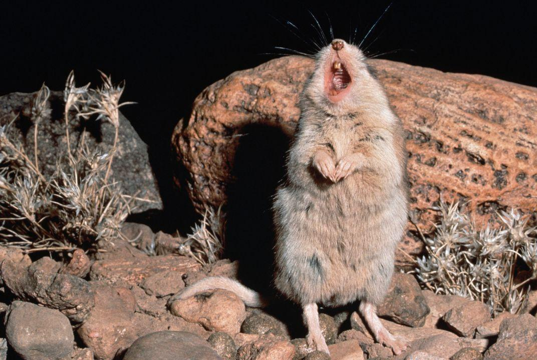 Zion National Park Wildlife: The Northern Grasshopper Mouse