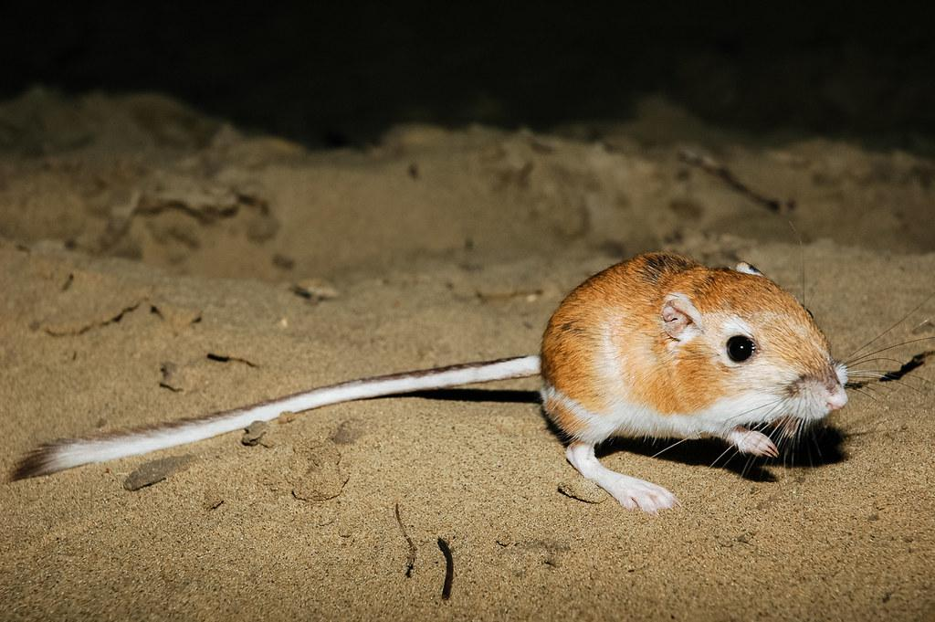Zion National Park Wildlife: The Ord's Kangaroo Rat