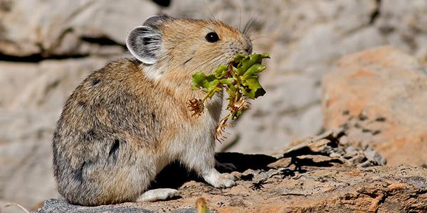 Bryce Canyon National Park Wildlife: The Pika