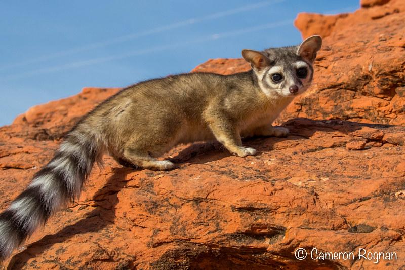 Zion and Bryce Canyon National Park Wildlife: The Ringtail