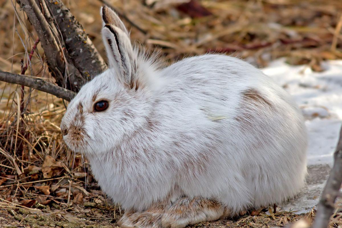 Bryce Canyon National Park Wildlife: The Snowshoe Hare