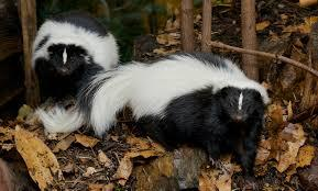 Zion and Bryce Canyon National Park Wildlife: The Striped Skunk