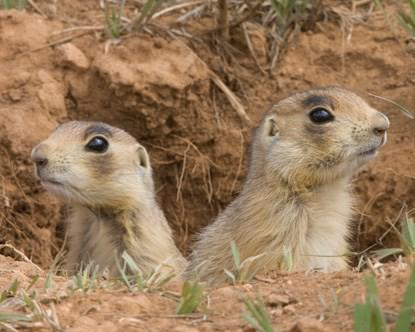 Bryce Canyon National Park Wildlife: The Utah Prairie Dog