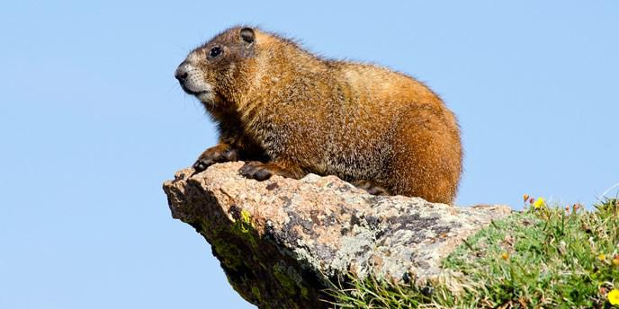 Bryce Canyon National Park Wildlife: The Yellow-Bellied Marmot
