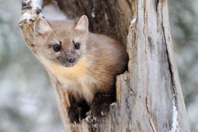 Utah Wildlife: The Marten