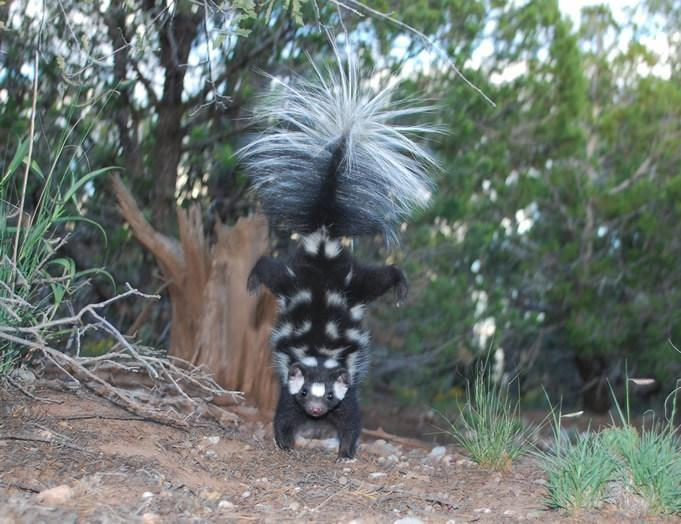 Zion and Bryce Canyon National Park Wildlife: The Western Spotted Skunk